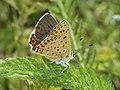 Lycaena tityrus - Sooty copper - Червонец бурый (39204863950).jpg