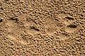 Lynx rufus - bobcat tracks.jpg