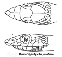 LytorhynchusParadoxus.png