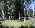 Mändjala mets, Saaremaa.JPG