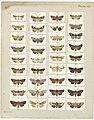 MA I437607 TePapa Plate-VIII-The-butterflies full.jpg
