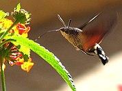 Un oiseau-mouche (à gauche) et un sphingidé, le Moro-sphinx, (à droite) ont en commun une longue langue adaptée pour puiser le nectar et une capacité au vol stationnaire.