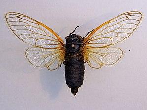 Magicicada septendecim - Magicicada septendecim at Zoologische Staatssammlung München