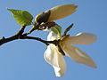 Magnolia - kwiat (2).JPG