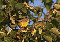 Magnolia Warbler-Juvenile (15271460412).jpg