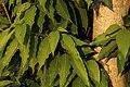 Magnolia champaca leaves from Villupuram dt IMG 3898.jpg