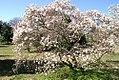 Magnolia stellata 10zz.jpg