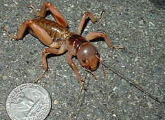 Mahogany Jerusalem cricket.jpg