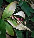 Maianthemum stellatum 2015-08-29 5679.jpg