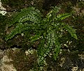 Maidenhair Fern - Flickr - S. Rae.jpg