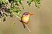 Malachit-Eisvogel-Serengeti.jpg