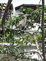 Malasian night heron .jpg