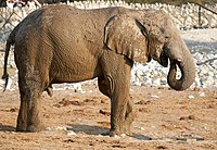 Male African Elephant After Mud Bath 2019-07-25.jpg