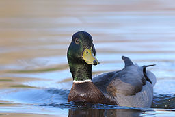 Male mallard duck on a lake 3