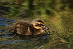 Mallard (Anas platyrhynchos) chick.jpg