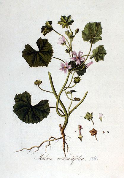 File:Malva rotundifolia — Flora Batava — Volume v2.jpg