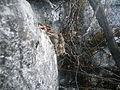 Mammillaria erythrosperma (5757386169).jpg