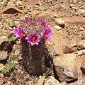 Mammillaria grahamii (9397478134).jpg