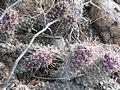 Mammillaria poselgeri (5770197001).jpg