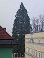 Mammutbaum Mattighofen 2014-02-02.jpg