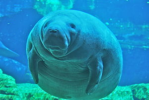 English: Manatee at the Sea World Exhibit in O...