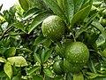 Mandarin orange 3 Bangladesh .jpg