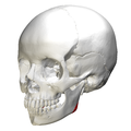 Mandibular angle - lateral view2.png