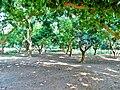 Mango Garden in Amjhupi Neelkuthi .jpg