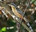 Mangrove Cuckoo.jpg