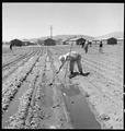 Manzanar Relocation Center, Manzanar, California. Evacuees of Japanese ancestry are growing flouris . . . - NARA - 537977.tif