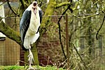 Marabou Stork - Linton Zoo (16882380396).jpg