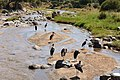 Marabou storks, Tarangire National Park (28610377122).jpg