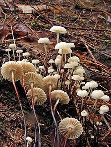 Marasmius rotula 148433.jpg