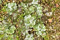 Marchantia polymorpha (36677295872).jpg