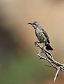 Marico sunbird, Cinnyris mariquensis at Mapungubwe National Park, Limpopo, South Africa - female (29431205984).jpg