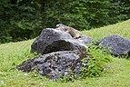 Marmota alpina (Marmota marmota), Tierpark Hellabrunn, Múnich, Alemania, 2012-06-17, DD 01.JPG