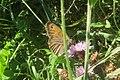 Meadow brown on knapweed (NH) (31932682602).jpg