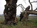 Mediaeval Oak - geograph.org.uk - 305370.jpg