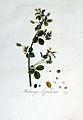 Medicago lupulina — Flora Batava — Volume v3.jpg