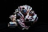 Megabalanus coccopoma.jpg