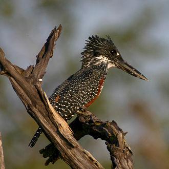 Giant kingfisher - Female near Triangle, Zimbabwe