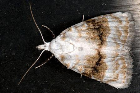 Meganola albula, Lodz(Poland)01(js).jpg