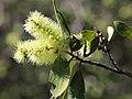 Melaleuca viridiflora 7286.jpg