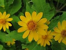 Melampodium paludosum 'Million Gold' 2.jpg