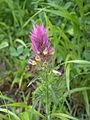 Melampyrum arvense flowers2.JPG