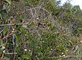 Melanthera in Shark Valley^ - panoramio.jpg