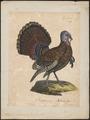 Meleagris americana - 1825-1834 - Print - Iconographia Zoologica - Special Collections University of Amsterdam - UBA01 IZ16900294.tif
