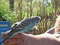 Melopsittacus undulatus -Point Defiance Zoo-8a.jpg