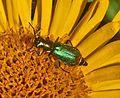 Melyridae - Malachius bipustulatus-002.JPG