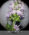 Mentha spicata sl17.jpg